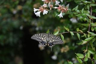 abelia_butterfly.jpg