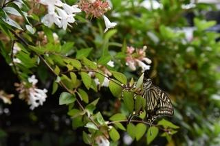 abelia_butterfly2.jpg