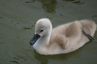 baby-swan.jpg