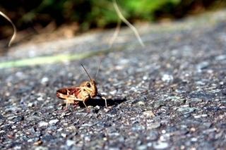 brown_grasshopper.jpg