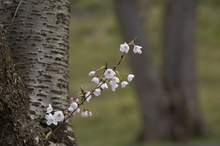 cherry-sakura.jpg