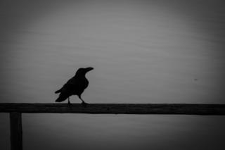 crow_cloudy_day.jpg