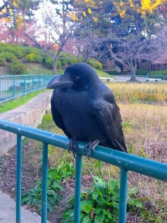 japanese-crow.jpg