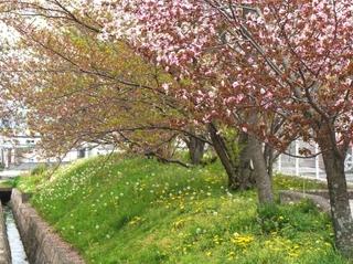 leafed_cherry_trees.jpg