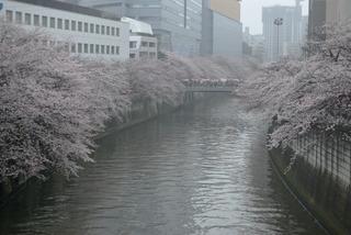 meguro_sakura.jpg