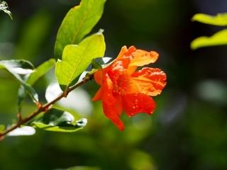 pomegranate_flower.jpg