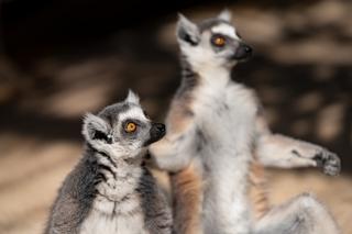 ring-tailed-lemur.jpg