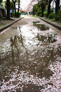 sakura_water_puddle.jpg