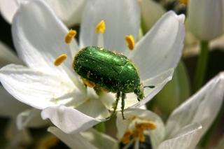 scarab_beetle.jpg