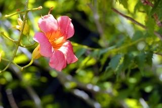trumpet_flower.jpg